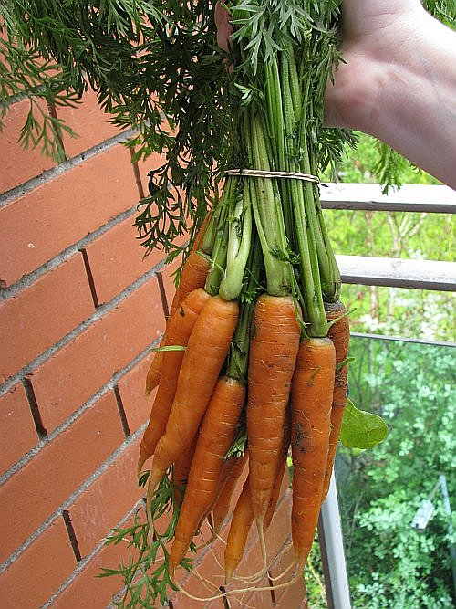 carrots-alone